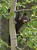 Black Bear Cub in Tree,<br /> Near Medicine Lake,<br /> Jasper National Park, Alberta, Canada