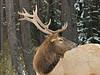 Elk Grazing, Portrait<br /> Banff National Park, Alberta, Canada