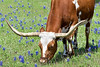 Longhorn Cow Grazing Amongst Bluebonnets<br /> Washington County, Texas