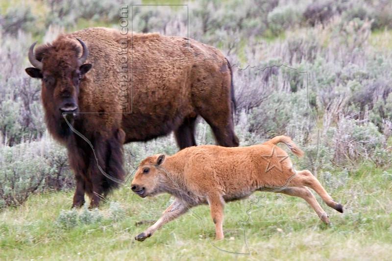 Buffalo Calf Running,<br /> Yellowstone National Park, Wyoming<br /> Wyoming, USA