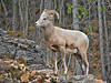 Bighorn Sheep,<br /> Banff National Park, Alberta, Canada