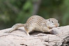 Squirrel_LAJ4305