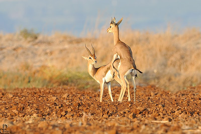 Mountain gazelle