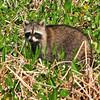 Racoon<br /> Viera Wetlands<br /> Melbourne, Florida<br /> 131-2524a