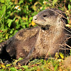 River Otter<br /> Viera Wetlands<br /> Melbourne, Florida<br /> 107-6797a