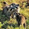 Racoons<br /> Viera Wetlands<br /> Melbourne, Florida<br /> 104-5717c
