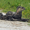River Otters<br /> Viera Wetlands<br /> Melbourne, Florida<br /> 202-9681a