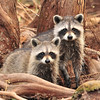 Racoons<br /> St. Johns River<br /> Orange City, Florida<br /> 124-1437b
