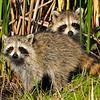 Racoons<br /> Viera Wetlands<br /> Melbourne, Florida<br /> 176-2860a