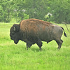 Buffalo<br /> Albion, Oklahoma<br /> 054-6827a