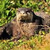 River Otter<br /> Viera Wetlands<br /> Melbourne, Florida<br /> 107-6809a