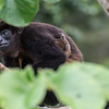 Mantled Howler Monkey (mom and child)