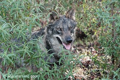 Canis lupus signatus (condciones controladas)
