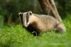 Tejón (Meles meles)/ Badger