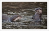 Otters at The Chestnut Centre, 271211
