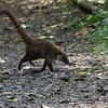 White-nosed Coati (Coatimundi)