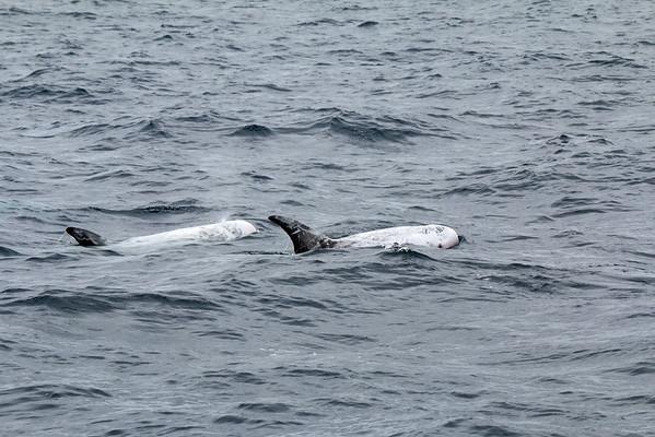 2015-07-05 Risso's Dolphin