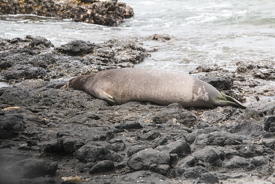 2018-04-17  Hawaiian Monk Seal