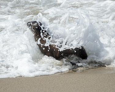 2020-08-01  California Sea Lion