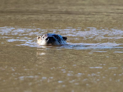 2019-03-17  Northern River Otter