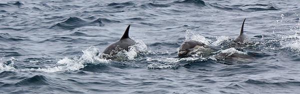 2015-07-05 Common Dolphin
