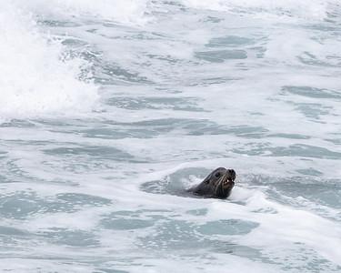 2020-03-13  California Sea Lion