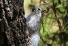 Arizona Gray Squirrel in the Santa Rita Mountains