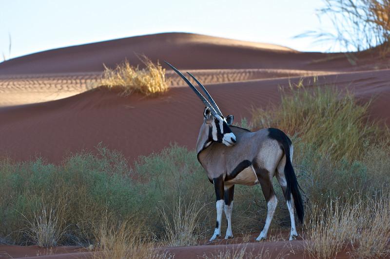 Gemsbok, NamibRand Nature Preserve, Namibia