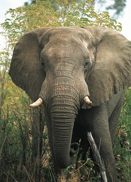 Bull Elephant, Mahango Game Reserve, Namibia