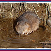 Muskrat - March 30, 2007 - Lower Sackville, NS
