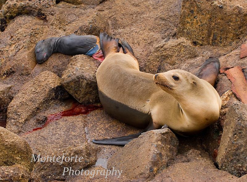 California Sea Lion, Zalophus californiaus with still born pup at the breakwater in Monterey California.