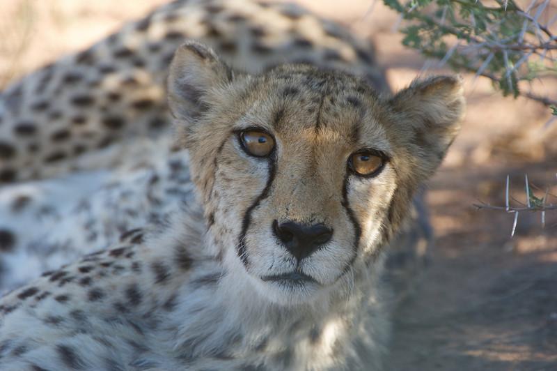 Cheetah, AfriCat Foundation, Namibia