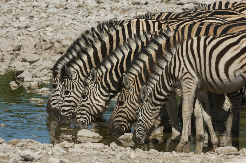 Mountain Zebras, Etosha National Park, Namibia