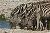 Mountain Zebras, Etosha National Park, Namibia