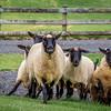 Sheep at Haumoana farm, Auckland, NZ