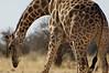 Bull Giraffe, Namibia