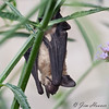 Little Brown Bat?<br /> Myotis lucifugus
