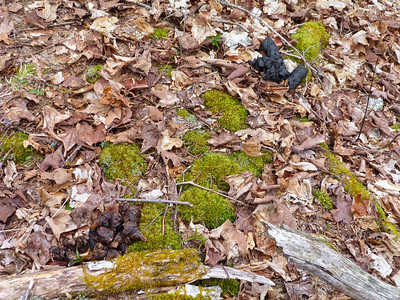 Black Bear droppings immediately adjacent to bed, within 1 m.