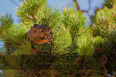 Douglas Squirrel Harvesting Lunch