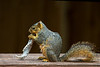 Squirrel gnawing on a jaw bone