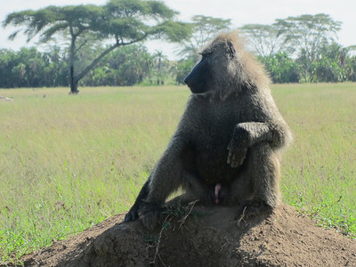 Baboon as sentry