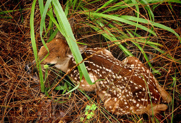 A white-tailed fawn (Odocoileus virginianus) hiding in tall grass (20140623_11392)