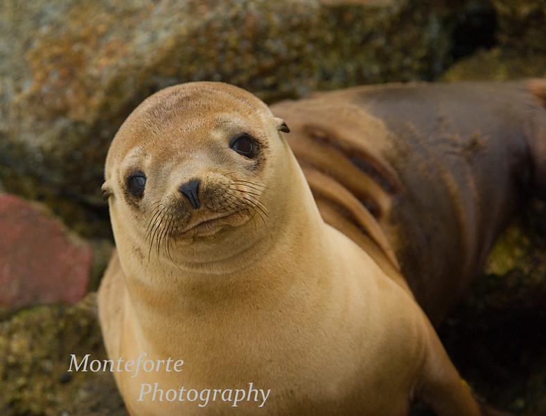 California Sea Lion Pup at the breakwater In Monterey California