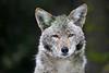 Coyote7276