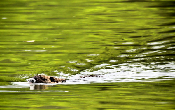 A nutria (a.k.a. coypu; Myocaster coypus) swimming in calm water (2009_06_01_021672)
