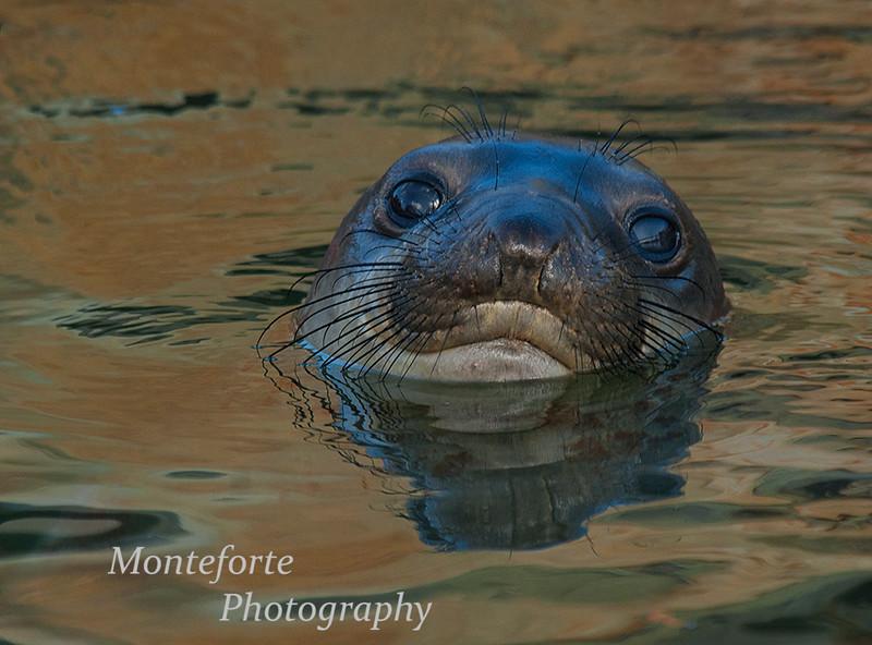 Juvenile elephant seal ( Mirounga angustirostris ) in the harbor, Monterey, California.