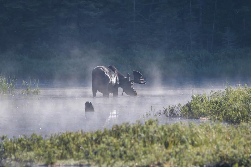 Bull Moose at Algonquin Provincial Park
