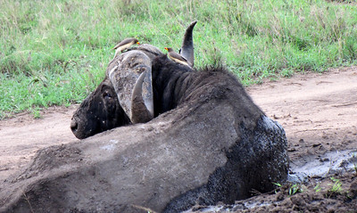Wallowing Cape Buffalo w/ oxpeckers on head and neck