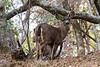 Deer1794