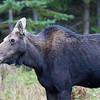 Moose cow - Pittsburg,NH